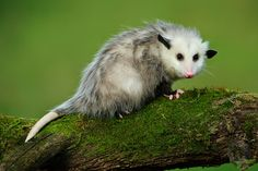 Young Opossum on mossy log by Mark Graf on 500px