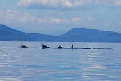 Orcas heading north with Mayne Island in the background Vancouver City, Orcas, Killer Whales, Best Places To Travel, British Columbia, Canada, Island, Mountains, Inspiration