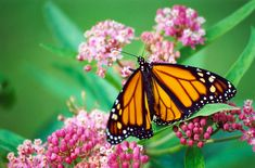 Male Monarch Butterfly on Swamp Milkweed c2003 / Worth Township, Slippery Rock, Pennsylvania / August / PHOTO BY Melanie Petridis