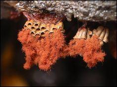 Wasps Nest Slime Mold