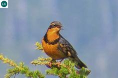https://www.facebook.com/WonderBirdSpecies/ Varied thrush (Ixoreus naevius); Western North America from Alaska to northern California; IUCN Red List of Threatened Species 3.1 : Least Concern (LC)(Loài ít quan tâm) || Hoét đa sắc; Phía tây Bắc Mỹ từ Alaska đến bắc California; HỌ HOÉT - TURDIDAE (Thrushes).