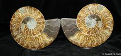 110 million year old, Cleoniceras cleon ammonite from Madagascar