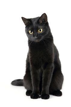 This is a guide about black cat photos and information. Often considered bad luck, these beautiful cats are still in abundance at shelters and often the last to be adopted. Cute Black Cats, White Cats, Scottish Fold, Black Cat Tattoos, Cat Reference, Cat Posters, Cat Whiskers, Cat Colors, Cat Photography