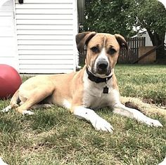 Livonia, MI - Boxer Mix. Meet Piston, a dog for adoption. http://www.adoptapet.com/pet/15824341-livonia-michigan-boxer-mix