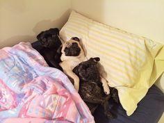 Pugs, Pugs and Pugs!