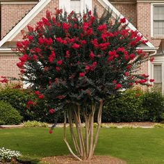 Black Diamonds are Forever Amazing - Give your garden or landscape the brilliance it deserves with the bold beauty only the Black Diamond Red Crape Myrtle can deliver. The vivid color display will add an awesome elegance that will tantalize the eye. Landscaping Trees, Front Yard Landscaping, Crepe Myrtle Landscaping, Landscaping Software, Outdoor Landscaping, Crepe Myrtle Trees, Deco Champetre, Fast Growing Trees, Potted Trees
