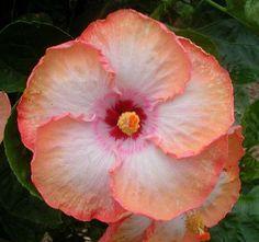Hibiscus 'Montego Bay