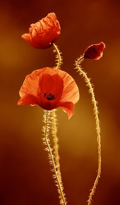 poppy ... - Beauty in the Details  IMAGES, GIF, ANIMATED GIF, WALLPAPER, STICKER FOR WHATSAPP & FACEBOOK