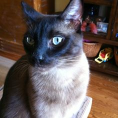 Tonkinese-This looks just like my tonkinese old man :)