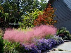 Pink muhly grass and Aster 'October Skies'-Fairegarden