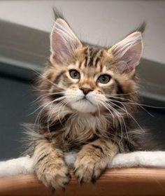 "Maine Coon kitten.(check out the ""m"" on his forehead, the long big ears, the huge paws, some have a longated face.)"