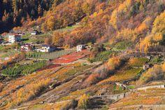 Terrazzamenti a Tirano #Valtellina. Colori d'autunno