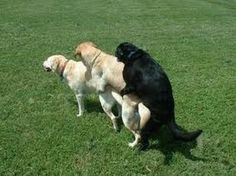 dog Copulation - Google 検索