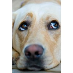 Labrador Retriever Names ❤ liked on Polyvore featuring home and kitchen & dining