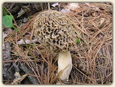 Discover morel mushroom hunting! Tips to connect with this prized ...