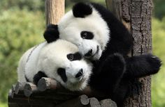 Panda snuggles. Im going to hold one of these one day :)