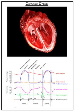 Ciclo cardiaco    Image Credit: DrJanaOfficial/Wikimedia Commons