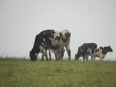 zobrazit celé album Cow, Nature, Animals, Naturaleza, Animales, Animaux, Cattle, Animal, Animais