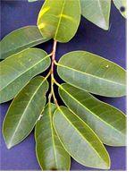 La Graviola es es un árbol pequeño (entre 8 y 10cm.) que crece cultivado en casi toda América Tropical (Centro y Sur). Sus frutos tiene un t...