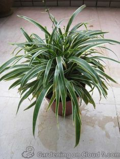 """Have you ever bought a Spider Plant (aka Airplane Plant, botanical name: Chlorophytum comosum) that just never grows """"baby spiders"""", or runners, no matter how Container Plants, Container Gardening, Lily Turf, Chlorophytum, Spider Plants, Indoor Plants, Shrubs, House Plants, Plants"""