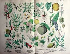 1895 Different species flowers and fruits by LyraNebulaPrints, $39.50