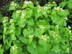 Alliaria petiolata (Alliaire officinale, Herbe à ail) : plantation, culture Herbs