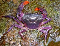 purple crab found in palawan, phillipines