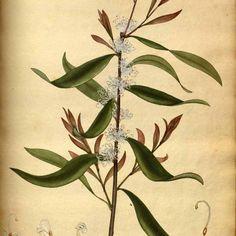 Hakea salicifolia - med australia Geo, Plant Leaves, Australia, Plants, Plant, Planets