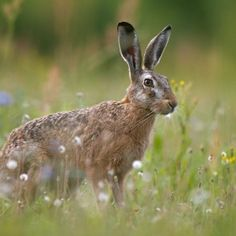 The European hare (Lepus europaeus)