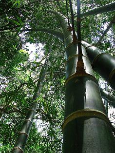 Guadua angustifolia
