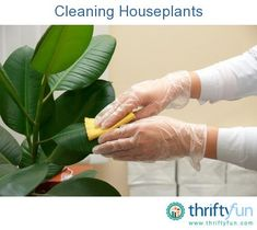 This is a guide about cleaning houseplants. The leaves of indoor potted plants can get very dusty and dingy looking if not cleaned off regularly. Cleaning your houseplants will help them grow happy and healthy.