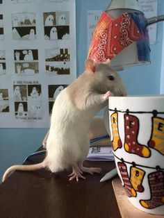 Teddy the rat loves coffee. Like he wasn't hyper enough. #aww #cute #rat #cuterats #ratsofpinterest #cuddle #fluffy #animals #pets #bestfriend #ittssofluffy #boopthesnoot