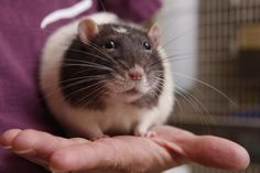Students with pet rats perform better in school
