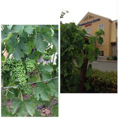 @Fairfield Inn Napa You know you are in #Napa County when there are #vines growing in the #hotel parking lot! #WineCountry #travel
