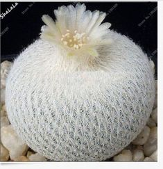 Cactus Bonsai Plant Succulent potted plant flower Foliage Magical Garden Home Plant Flower decoration potted planting Unusual Flowers, Unusual Plants, Rare Flowers, Exotic Plants, Cool Plants, Cacti And Succulents, Planting Succulents, Cactus Plants, Planting Flowers