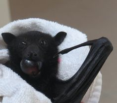 'Look at the size of the grape I managed to get into my mouth!' More of the orphaned bats being raised by dedicated carers in Brisbane.