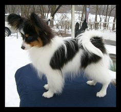 This is a very nice Papillon puppy.  he is a Tri Color.