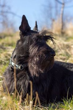 Scottish Terrier #58 - Scottish Terrier AKC Popularity - 2015: 58 AKC Popularity - 2014: 59 Average Life Expectancy: 12 years Puppy Price: $800 Breed Group: Terrier Nickname(s): Scottie, Aberdeenie