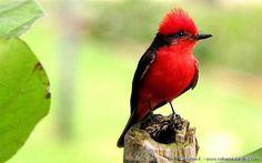 Vermilion Flycatcher - Pyrocephalus rubinus 2 - Medellin Botanical Garden, C Andes.JPG by COLOMBIA Birding (Diego Calderon), via Flickr