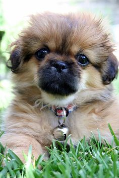 This is exactly what Mollie looked like as a puppy! I'm convinced she is a tibetan spaniel mix!