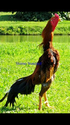 Rooster Breeds, Bird Breeds, Pretty Birds, Beautiful Birds, Animals Beautiful, Black Chickens, Chickens And Roosters, Game Fowl, India Art