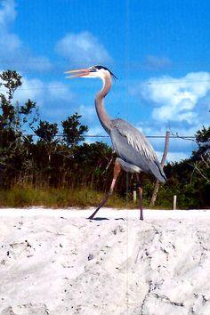 Great Blue Heron on Sanibel Island, Florida