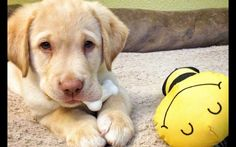The Five Stages of Moral Development in Dogs   It's a Lab Thing
