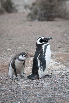that will be enough of your sass, young man!!! ... Penguino de Magellanes - Peninsula Valdes - Argentina