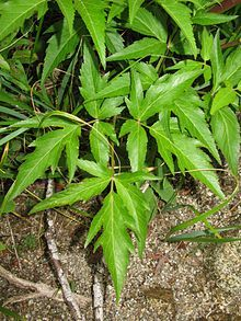 Chinese Angelica or Female Ginseng