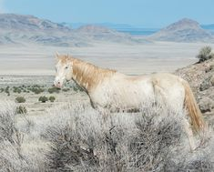 Cream colored mustang