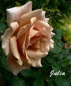 Hybrid Tea Rose<BR><BR>アンティークタッチバラ苗<BR>HT 『ジュリア』 | Flower Species,バラ苗