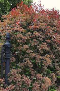 7 mooiste Haagplanten - KleineTuinen.nl Prunus, Garden, Garten, Lawn And Garden, Gardens, Peach, Gardening, Outdoor, Yard