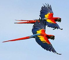 2 Scarlet Macaws in flight- I love their vibrant plumage.