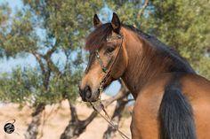 Araber-Pony Showtrense Barockzaum türkis schwarz mit goldenen Beschlägen
